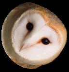 Owl head2
