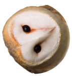 Owl head3